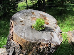 Sprig growing from a tree stump