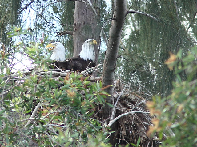 Two adult Bald Eagles at nest 3-20111005