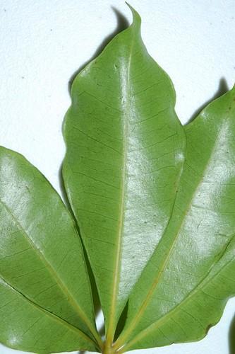Cissus penninervis