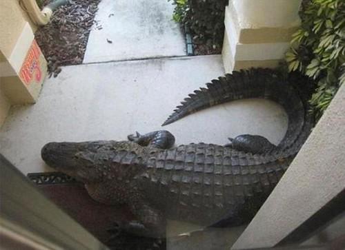 Krokodil vor der Haustür