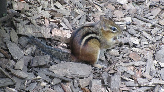chipmunk. later I named him Charlie.