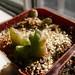 Mitrophyllum disitum