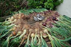 onions_1999