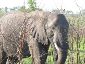 Elephant picture taken at Hluhluwe/Umfolozi Game Reserve