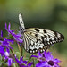 black and white butterfly on purple flowers