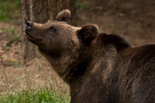 Bear smiling