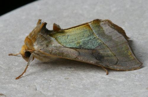93-1179 - 8897 - Diachrysia balluca - Hologram Moth