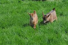 Juan-Fernández-Ziege im Haustierpark Werdum