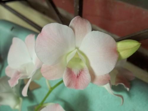 blushing Dendrobium hybrid