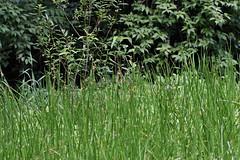 瀬上市民の森のカンガレイ(Flower, Segami Community Woods)