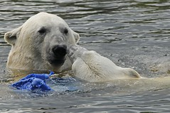 Eisbären Frimas und Henk im Dierenrijk in Mierlo bei Eindhoven