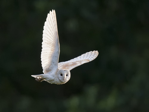 Barn Owl semaphore