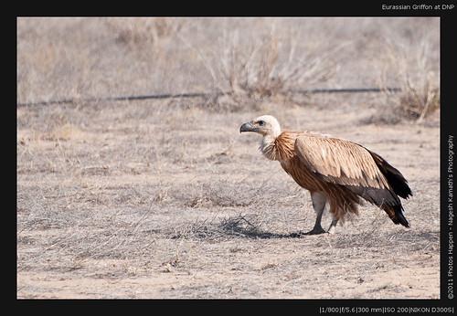 Eurassian Griffon at DNP