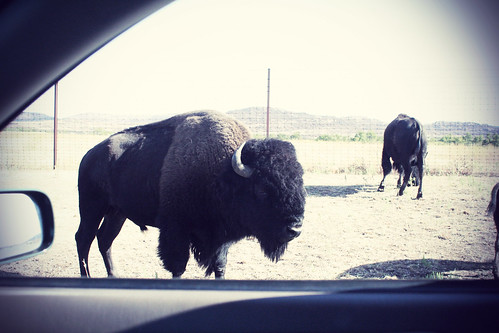 Buffalo in the Wichita Mountain Wildlife Refuge