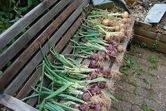 onions_1998