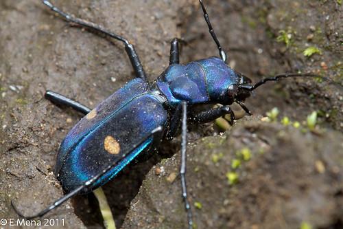 Escarabajo Tigre azul