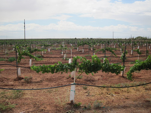 Picture from McGinn's Pistachio Tree Ranch