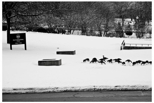 Snow Geese at Daley Bicentennial Plaza