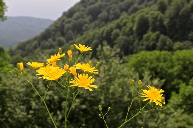 Fleurs près du monastère Haghartsin, Dilidjan, Arménie