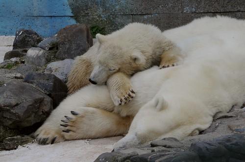 Eisbärin Blanche mit ihrer Tochter Qannik in der Monde Sauvage Safari
