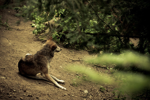 Wolf stairing into the woods