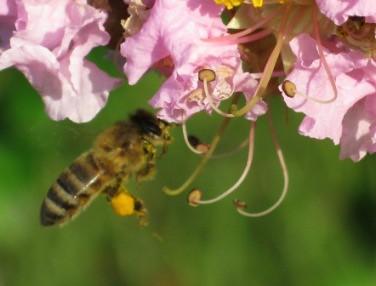 .Bee 1