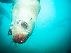 Scuba Diving with Seals