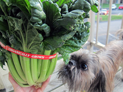 In the foreground is a big bunch of tatsoi. Moria (a small brussels griffon/shih tzu mix) sniffs at them in the background.