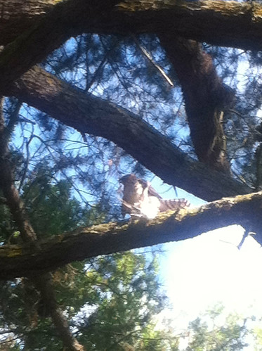 Dimond hawk