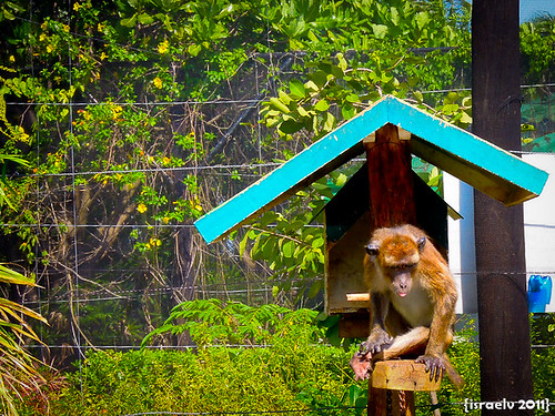 Playful Monkey by israelv