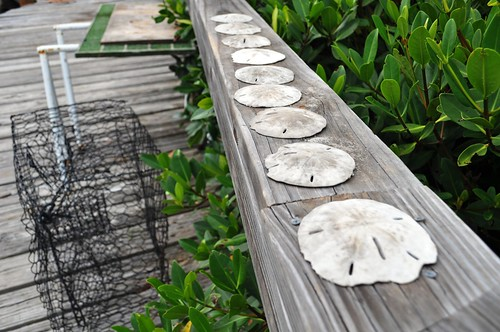 Sand Dollars at the Boat Dock in Placida, Fla.