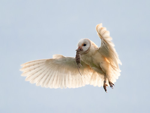 Barn Owl hover with prey
