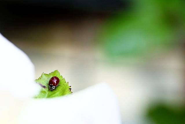 lady bug 011