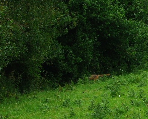 20110529-32_Disappearing Fox - Braunston Fields by gary.hadden