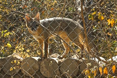 Fox at the bee yard
