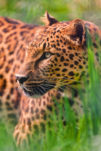 Leopard in the grass by Tambako the Jaguar