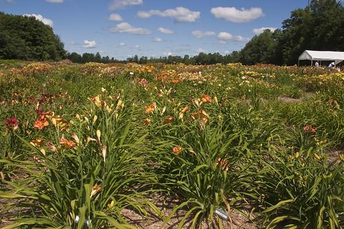 Daylilies Galore