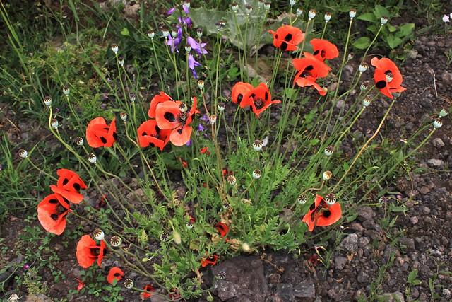 Fleurs sauvages, Zangezur, Arménie