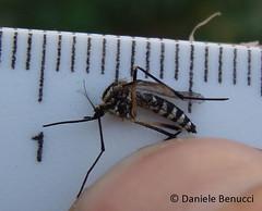 Aedes albopictus - Tiger mosquito