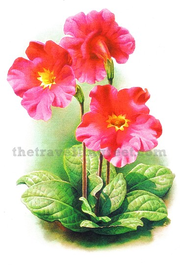 China postcard - Incarvillea forrestii