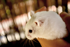 Hamster by intodreams, on Flickr