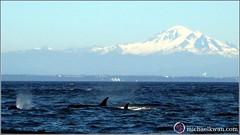 Whale Watching in Steveston (2 of 9)
