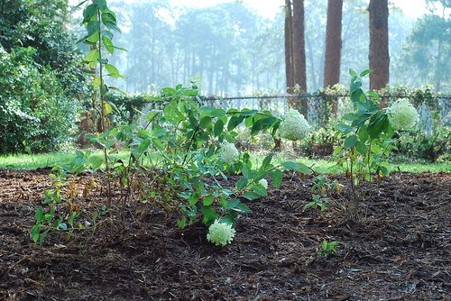 newly planted limelight hydrangeas