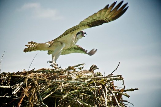 Harrison River Eco Tour: Osprey nest