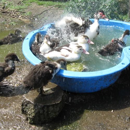 splashy ducks