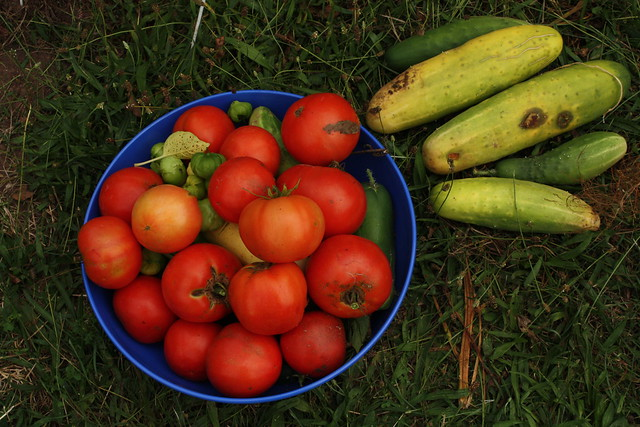 a lot of tomatoes, a lot of cukes