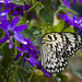 black and white butterfly with purple flowers