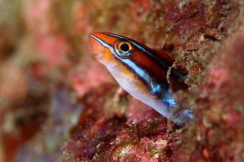 Plagiotremus rhinorhynchos 橫口鳚