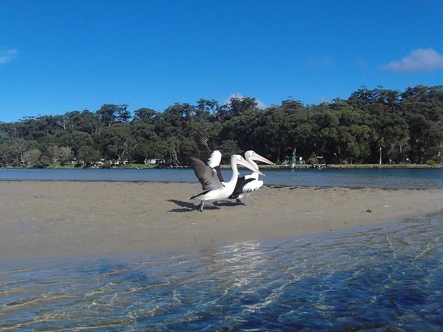 11 pelican b