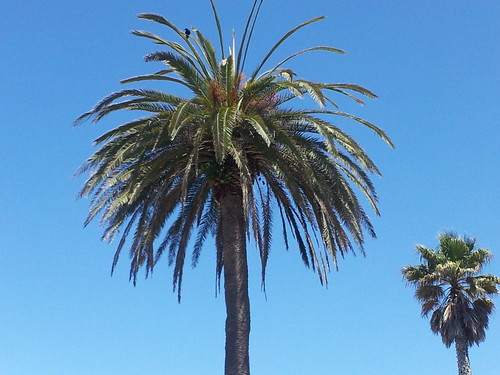 Palm trees in Capitola